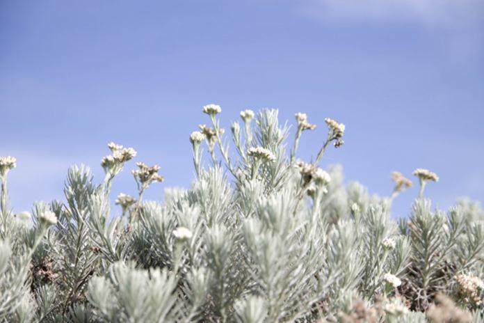 Bunga Edelweis Bunga Abadi Penuh Pesona Ngobrolin Id